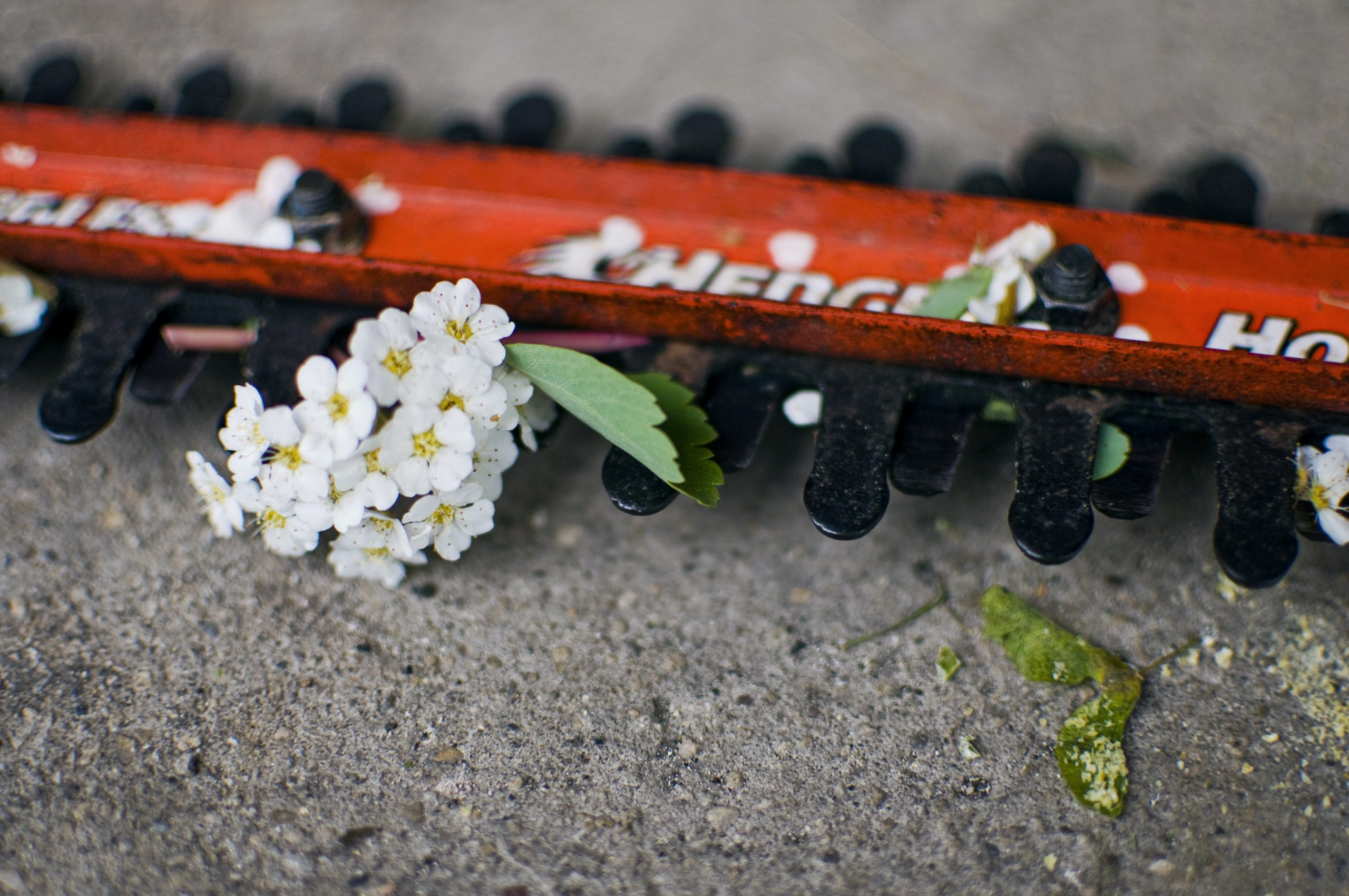 Hedge trimmer with white flowers